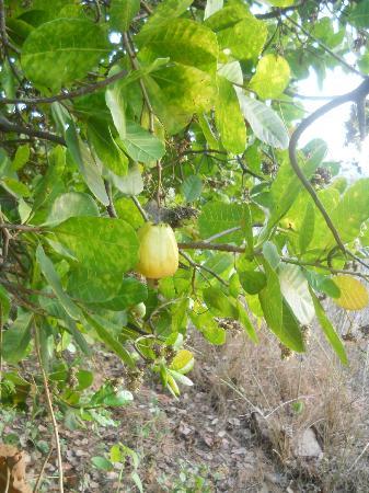 Ponda, India: Cashew Tree