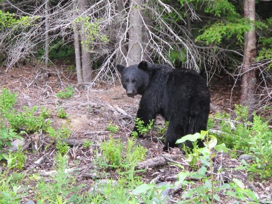 Stewart-Cassiar Highway: Bear on the Cassiar