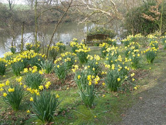 Bishopscourt Glen: Daffodils