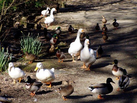 Ballaugh, UK: Ducks and Geese