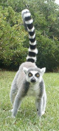 Lignano Sabbiadoro, Italie : lemur catta