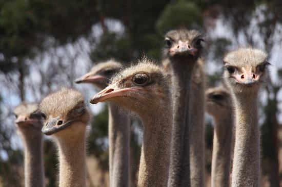 Augusta de Mist Country House: Ostrich Farm Inmates