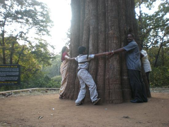 Palakkad, Inde : Kannimara teak, very oldest tree. it takes 6 adults to circle it