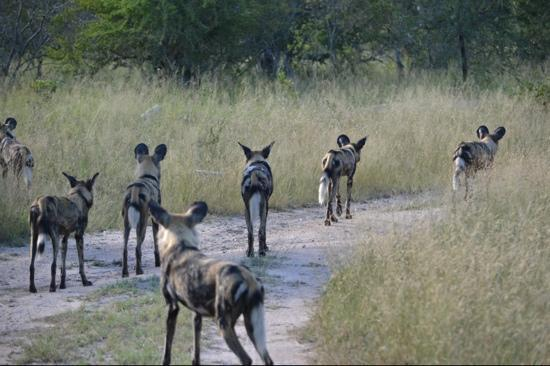 Simbambili Game Lodge: african wild dog
