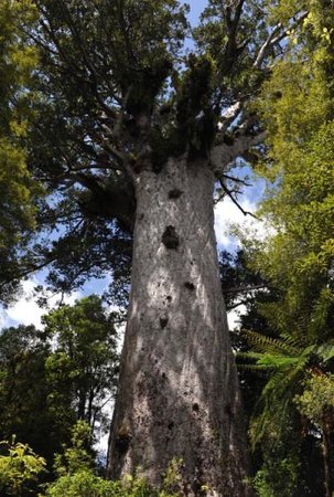 Waipoua Forest Kauri Tour - Mydo New Zealand