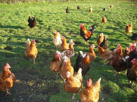 Eastbrook Cottage Bed & Breakfast: free range hens