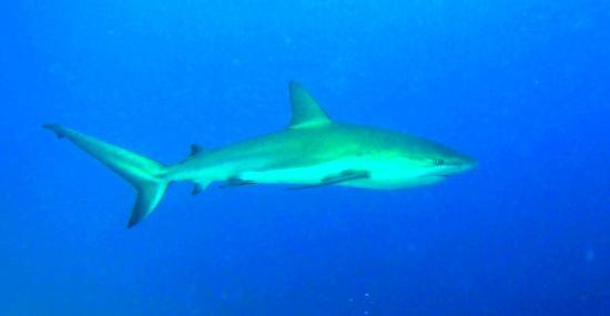 Belize Diving Services: Big Caribbean Reef Shark