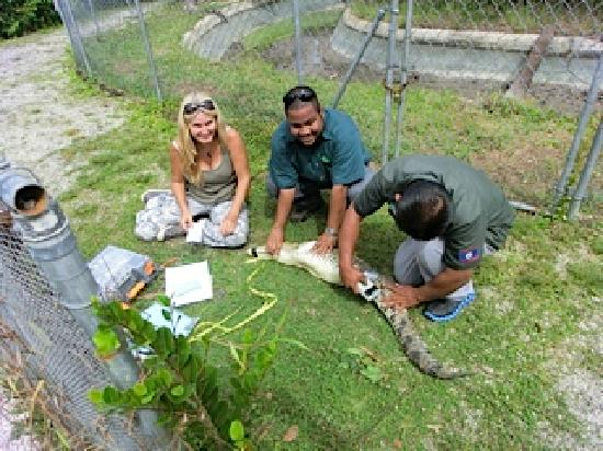 ACES / American Crocodile Education Sanctuary : ACES is permitted by the Belize Forest Department