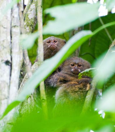 Napo Wildlife Center Ecolodge: Pygmy Marmosets