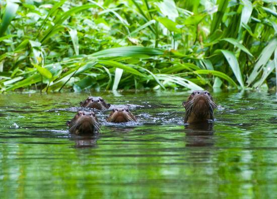 Napo Wildlife Center: Giant River Otters