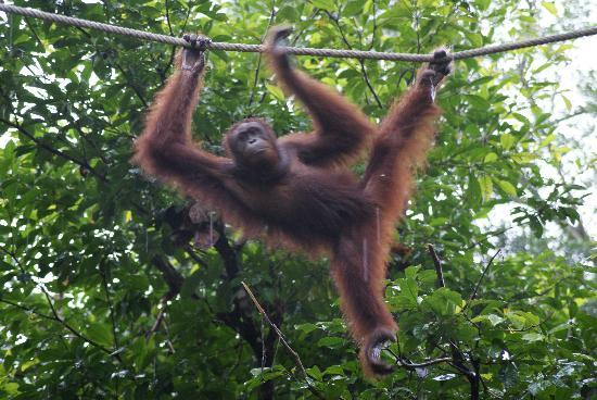 Semenggoh Nature Reserve: Across the ropes