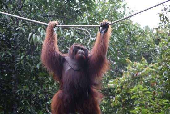 Semenggoh Nature Reserve: Ritchie - the big man!