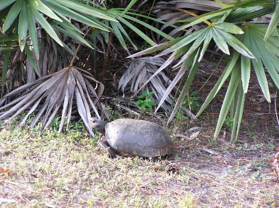Okeeheelee Park : Gopher Tortoise on the Okeeheelee Nature Walk in West Palm Beach on 1/28/12