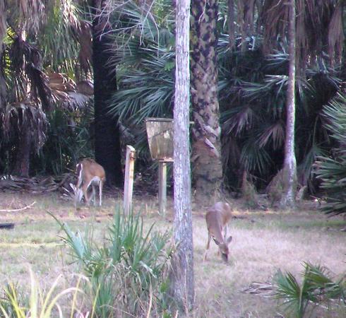 Okeeheelee Park : Deer on the Okeeheelee Nature Walk on 1/28/12.