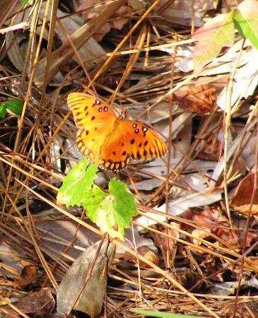 Okeeheelee Park : Gulf Fritillary Butterfly on the  Okeeheelee Nature Walk in West Palm Beach 1-28-12