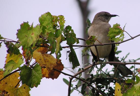 Okeeheelee Park : Northern mockingbird on the Okeeheelee Nature Walk on 1/28/12