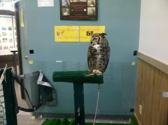 Okeeheelee Park : Great Horned Owl on display at the Okeeheelee Nature Center in West Palm Beach on 1/28/12.