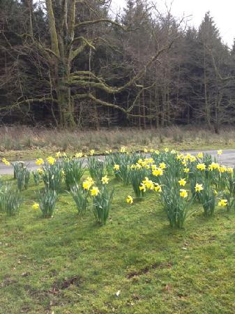 Gelli Aur Country Park: Daffs outside the parking area
