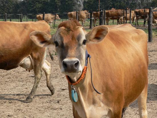 Belen de Escobar, Argentina: Vacas Jersey