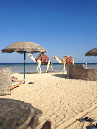 Gorgonia Beach Resort: camel beach
