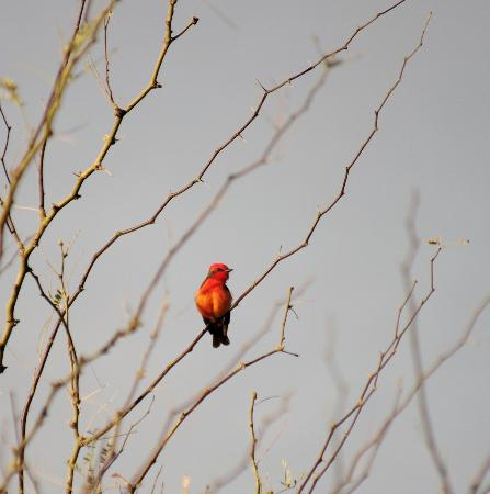 Saguaro Lake Guest Ranch: A scarlet tanager