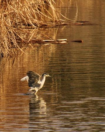 Saguaro Lake Guest Ranch: A duck taking off from the Salt river.