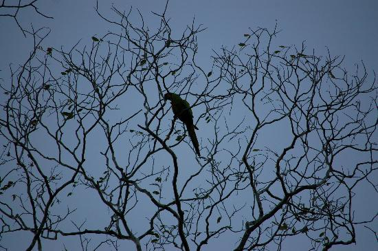 Laguna del Lagarto Lodge: Great Green Macaw nesting near Lodge (Ara)