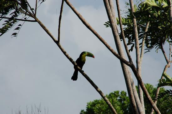 Laguna del Lagarto Lodge: Keel-billed Toucan seen from dining area