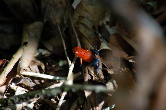 Laguna del Lagarto Lodge: Blue Jeans or Strawberry Poison Dart Frog seen during nature hike