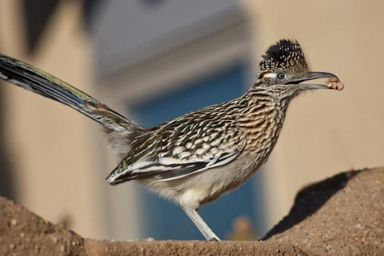 Chocolate Turtle Bed and Breakfast : Roadrunner at the Chocolate Turtle