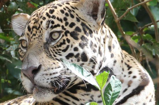 Cuiaba, MT : Male jaguar, Canon EOS550D 300mm (8,5 m distance!)