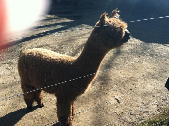 Chimney Hill Estate & Ol' Barn Inn: one of the sweet alpaca crew