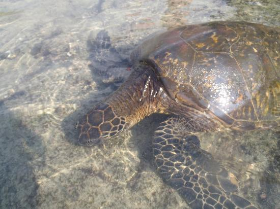 Wyndham Royal Sea Cliff: Swam with Sea Turtles 1 mile from Resort