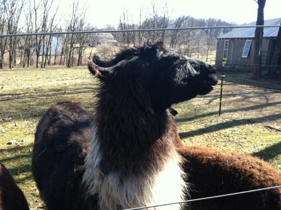Chimney Hill Estate & Ol' Barn Inn : the resident llama