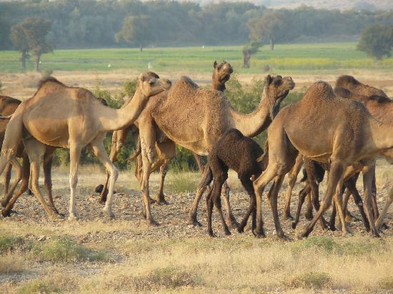 Pabu Ki Dhani eco Farm : camels