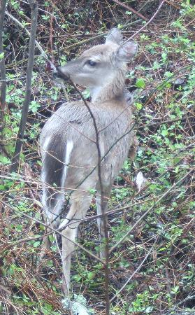 Dismal Swamp State Park: Deer are plentiful and fairly docile