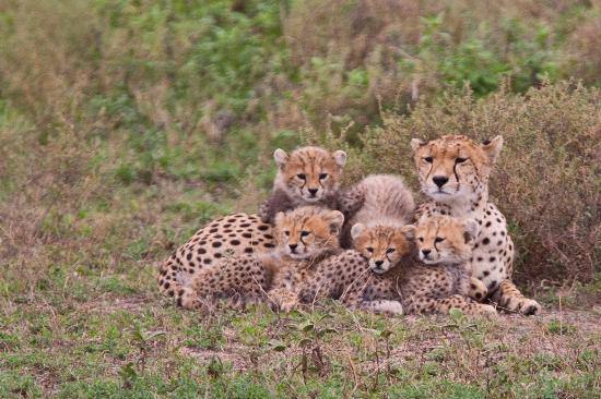 Ndutu Safari Lodge: Cheeta family portrait