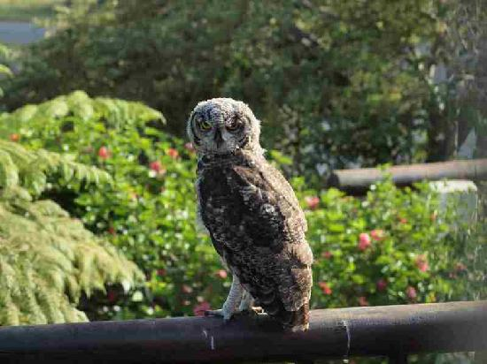 The Knysna Belle: Owls visiting our gardens