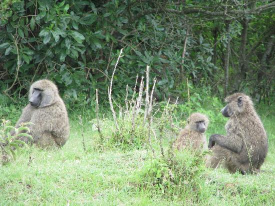 Ngerende Island Lodge: Baboon Family