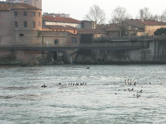 Bazacle : Hérons, cormorans et autres attendent le festin