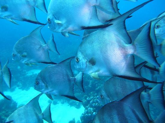Utila Lodge: Spade Fish
