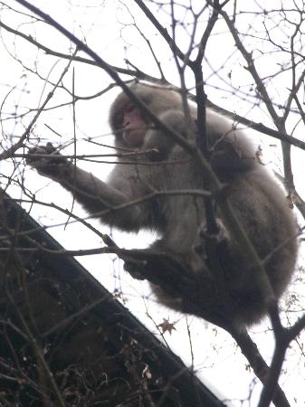 Yoroduya Shoraiso : 雪がふると猿がおりてくるそうな