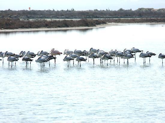 Akrotiri, Chypre : flamingoes