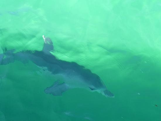Penguin Island: A baby dolphin