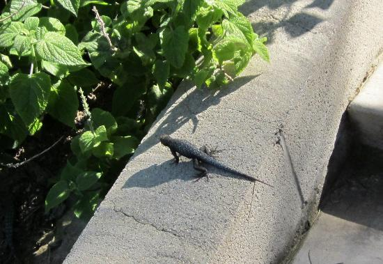 University of California Riverside Botanic Gardens: resident lizard