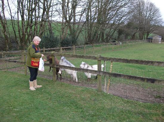Pelynt, UK: Feeding the goats