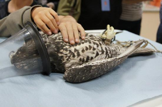 Abu Dhabi Falcon Hospital: First-hand look at a procedure
