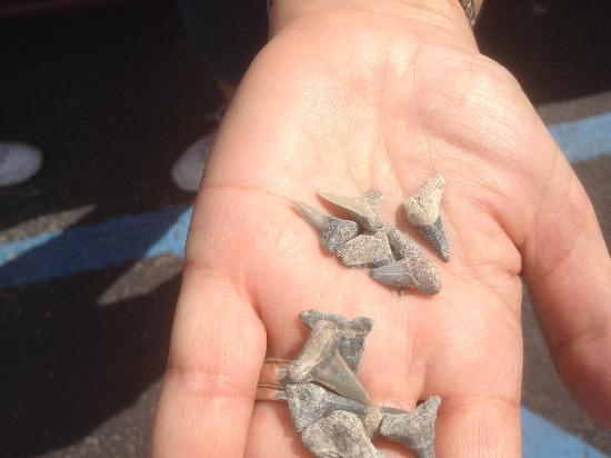 Mulberry Phosphate Museum : These we found by me in about 5 to 10 mintues.