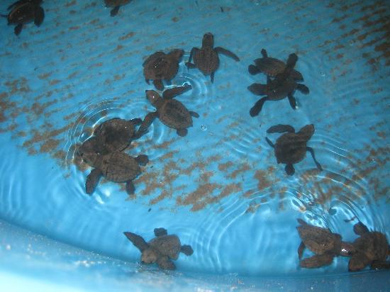 Mayan Palace Acapulco: Sea turtles