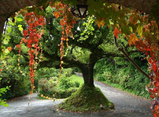 Hazelwood House: Oak tree outside framed by autumn coloured creepers